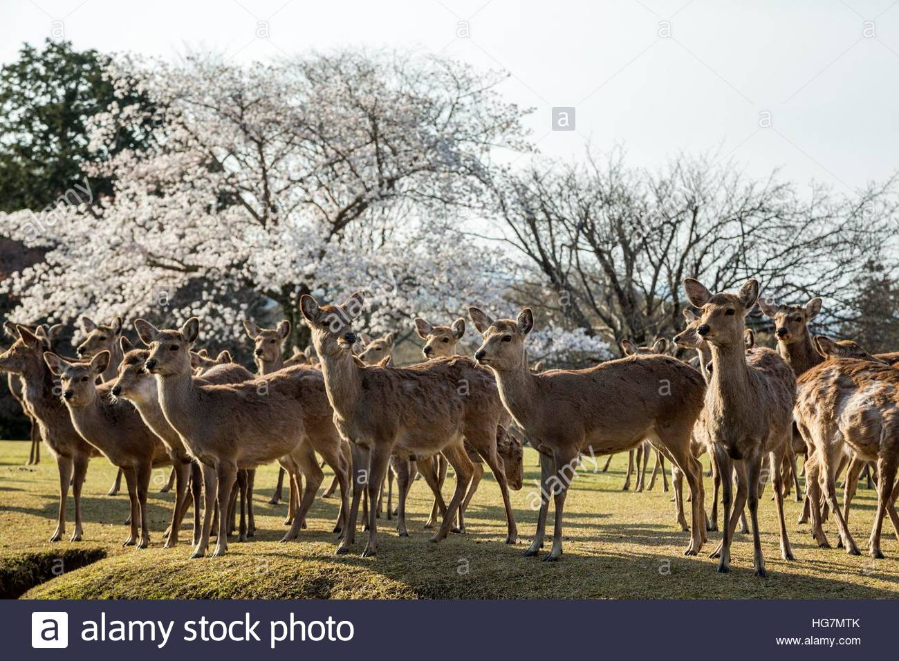 Japanese spotted deer, believed to be messengers of the gods, and cherry blossoms in Nara Park. - Stock Image