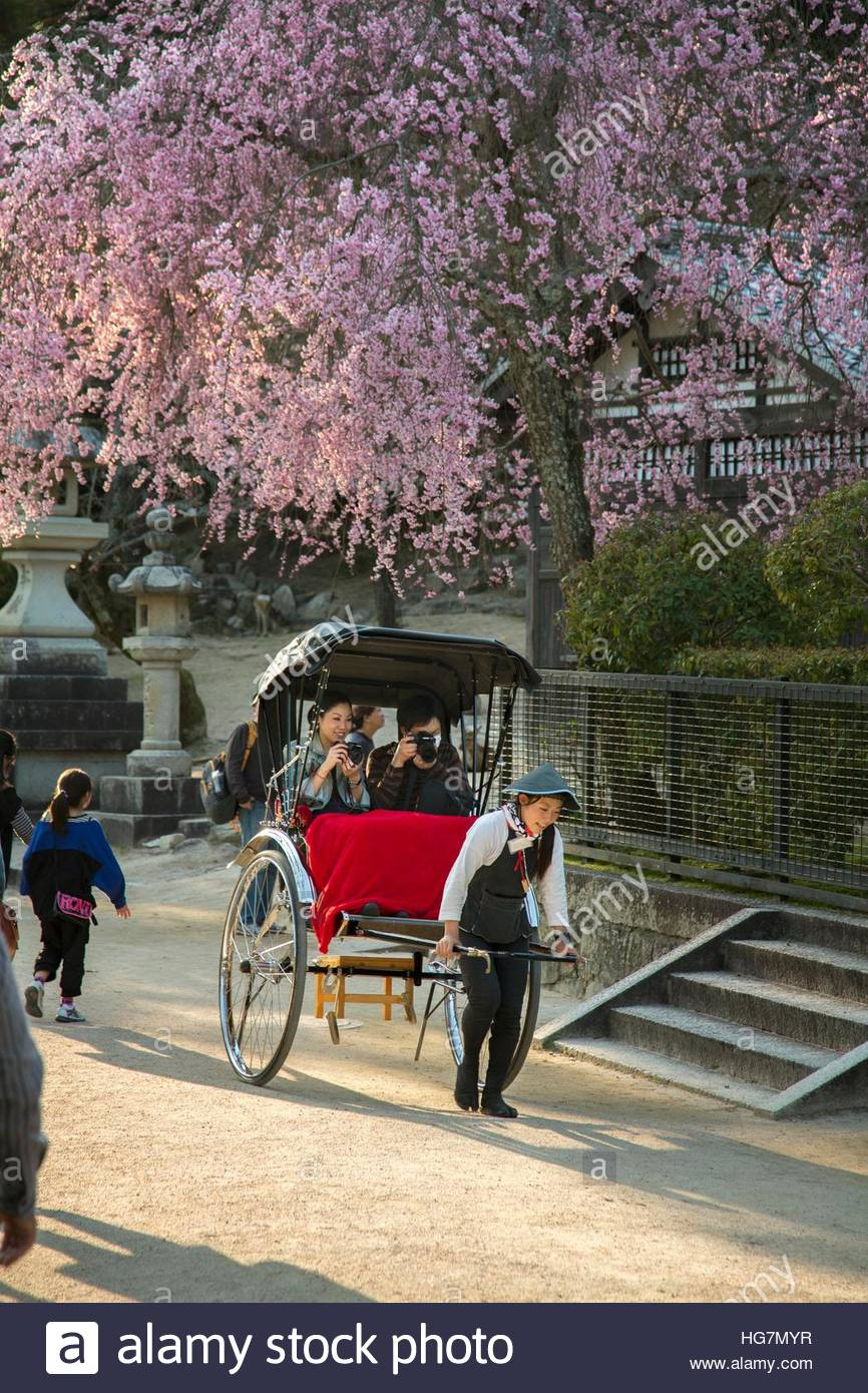 A tourist couple riding in rickshaw below a tree full of cherry blossoms. Stock Photo
