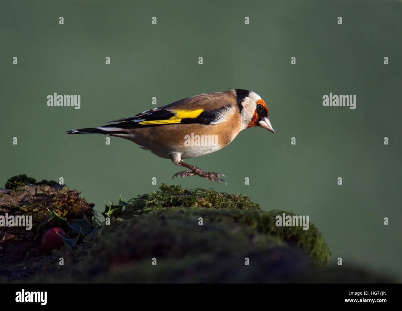 Goldfinch, Carduelis carduelis, jumping on moss covered stone in Wareham, Dorset, England, UK Stock Photo