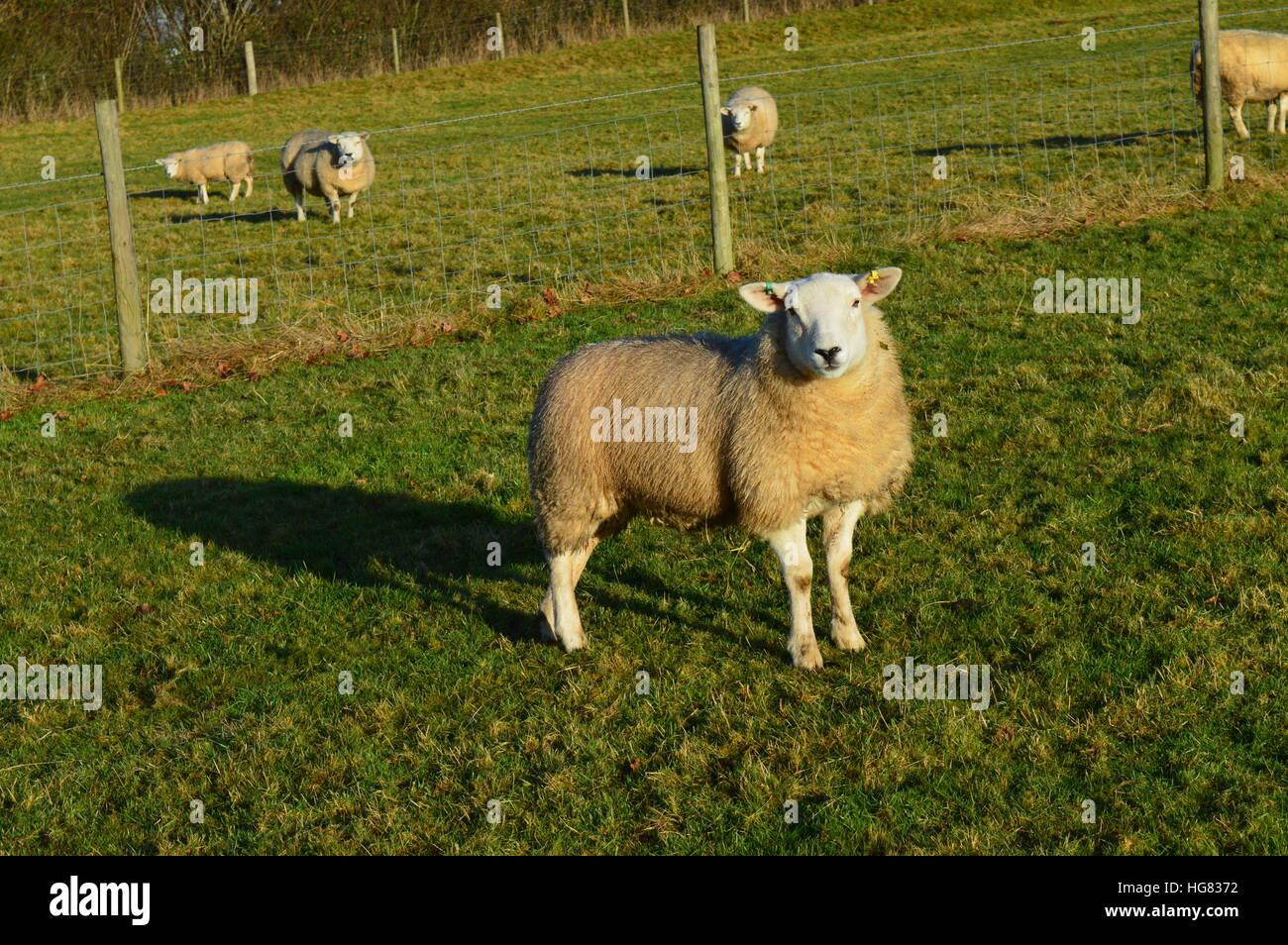 sheep landscape - Stock Image