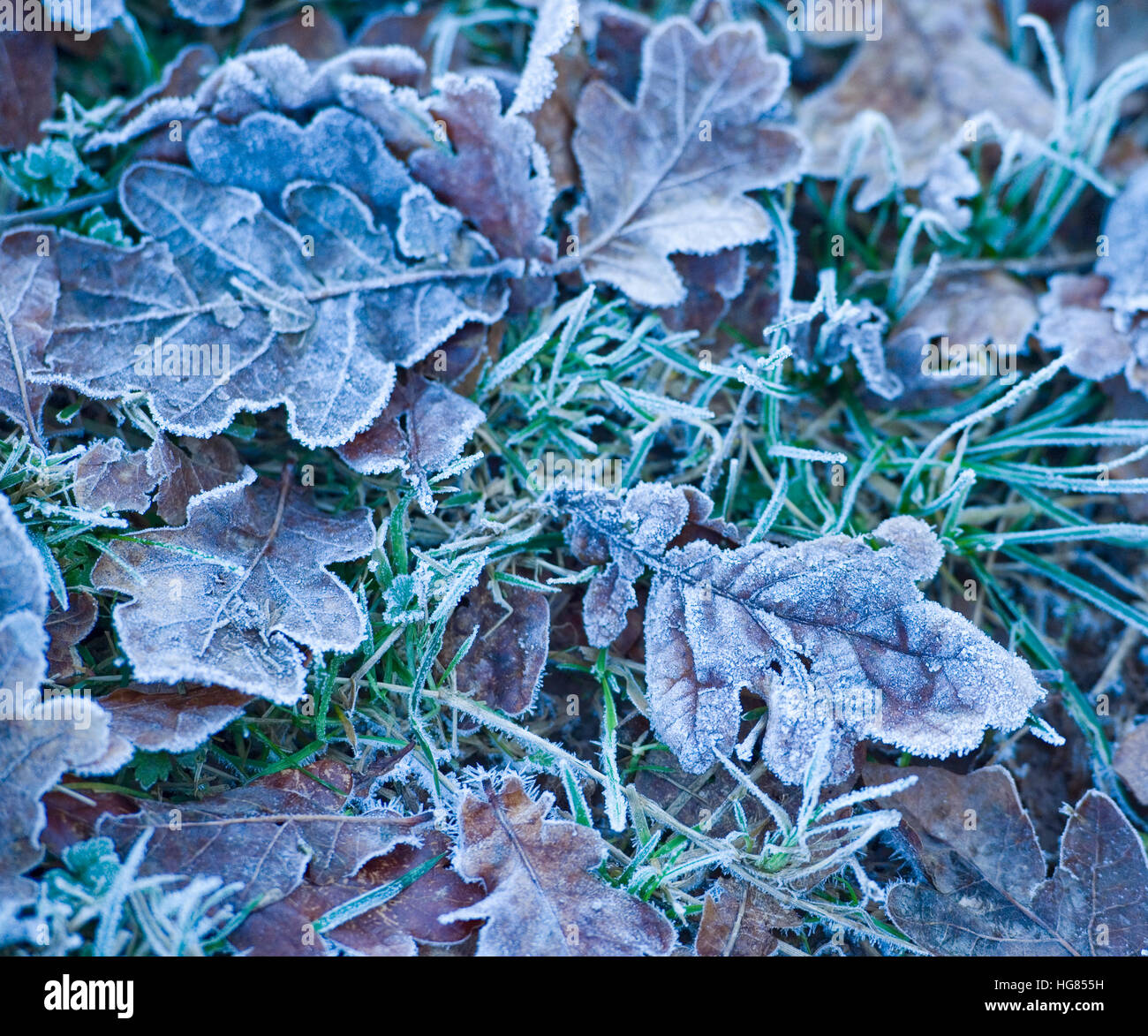 frosty leaves in winter - Stock Image