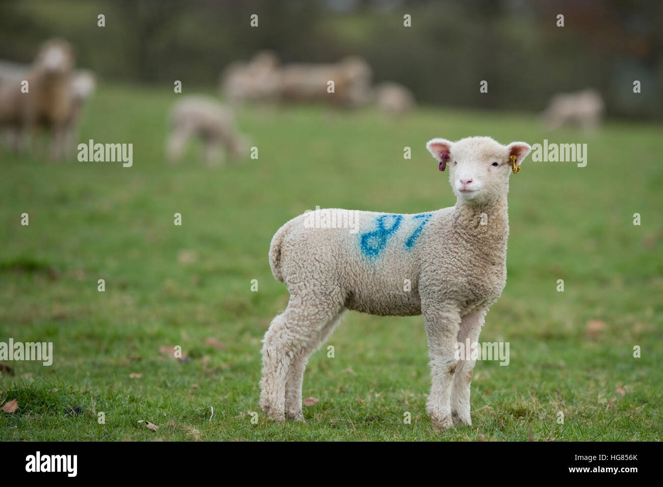 lamb in field of sheep - Stock Image