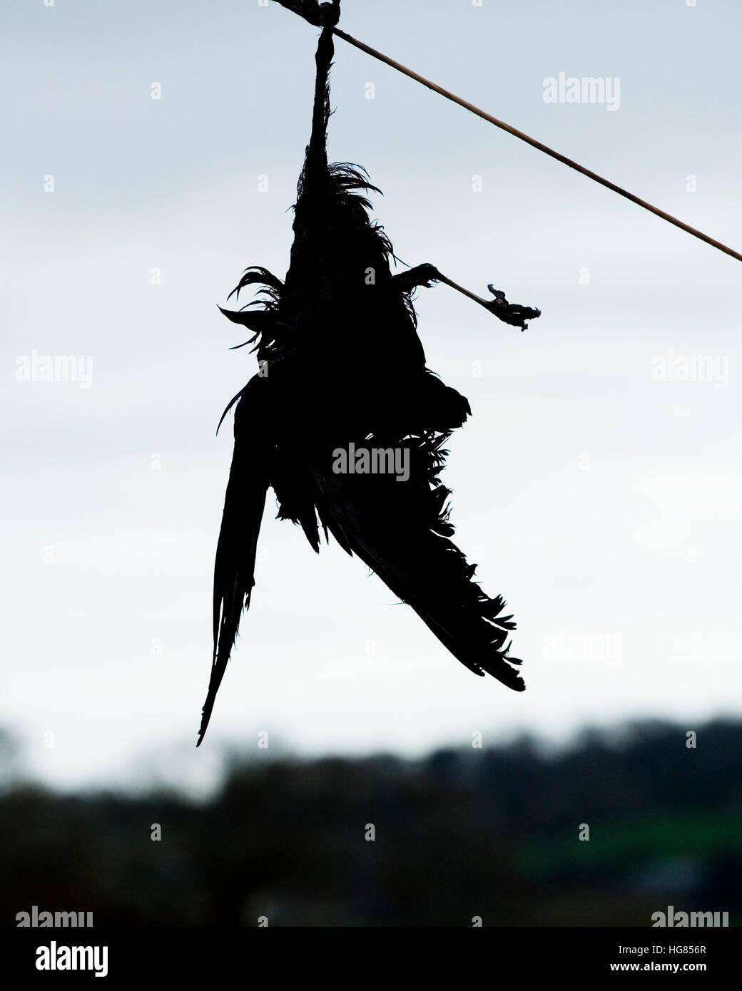 dead crow - Stock Image