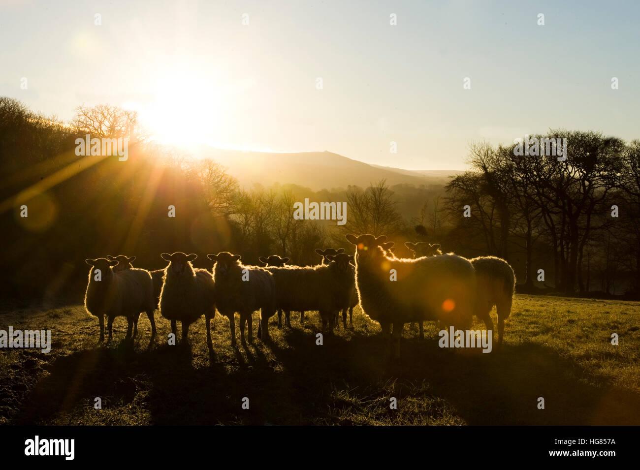 sheep at dawn - Stock Image