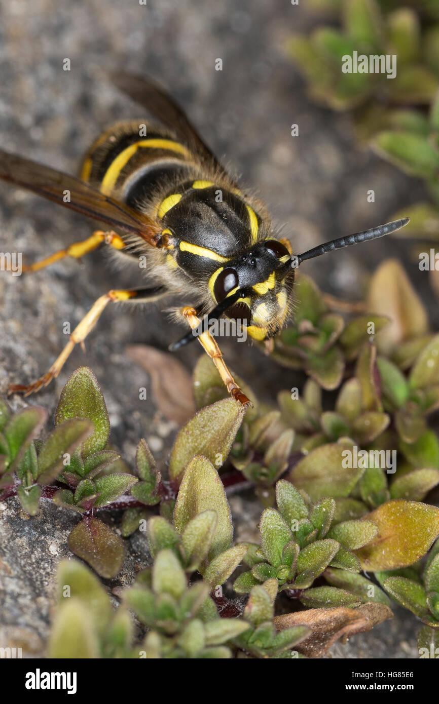 Gemeine Wespe, Gewöhnliche Wespe, Vespula vulgaris, Paravespula vulgaris, common wasp, yellowjacket - Stock Image