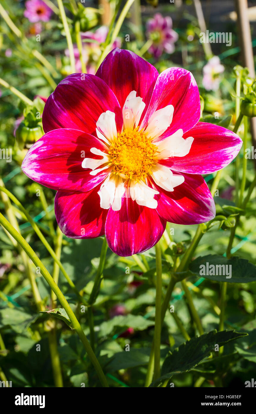 Dahlia Trevor flowering in September in the UK - Stock Image