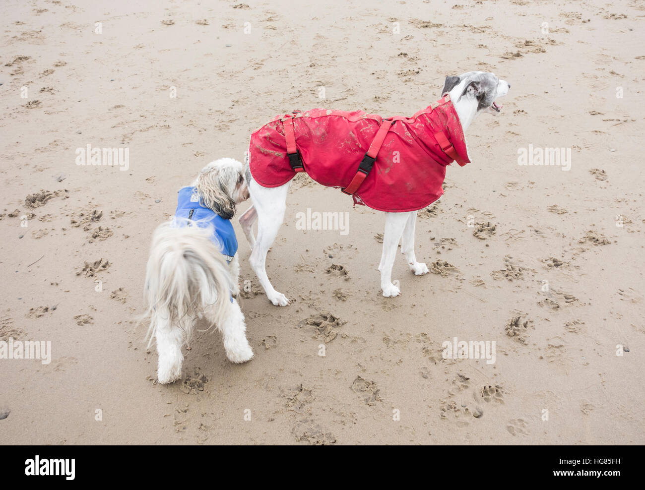 Dog sniffing other dog on beach - Stock Image