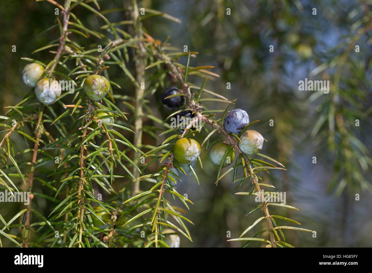 Igel-Wacholder, Igelwacholder, Nadel-Wacholder, Nadelwacholder, Juniperus rigida, temple juniper, Needle Juniper, - Stock Image