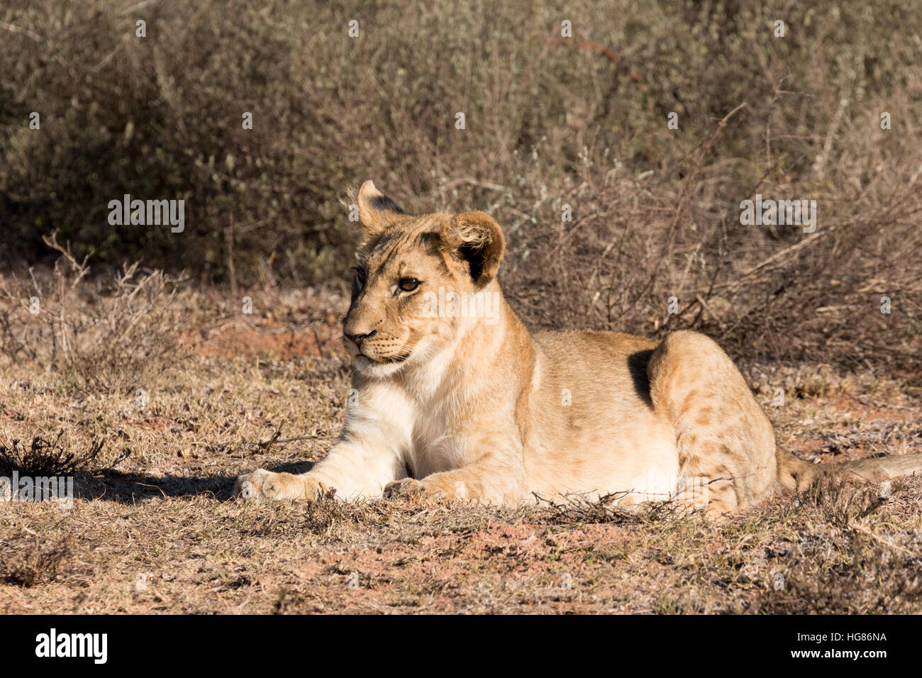 Lion cub ( Panthera Leo ), four months old, South Africa - Stock Image