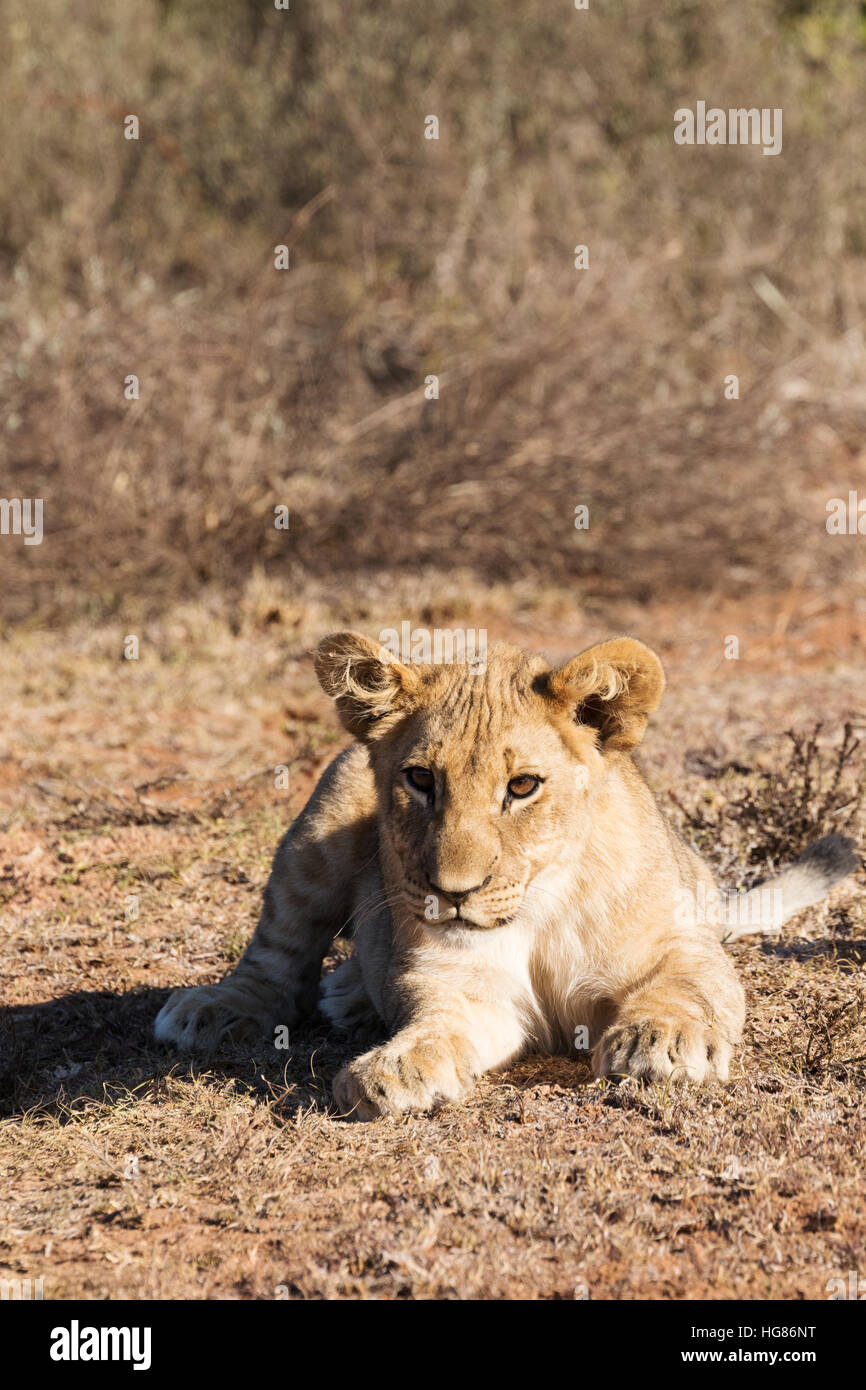 Lion cub, ( Panthera Leo ), South Africa - Stock Image