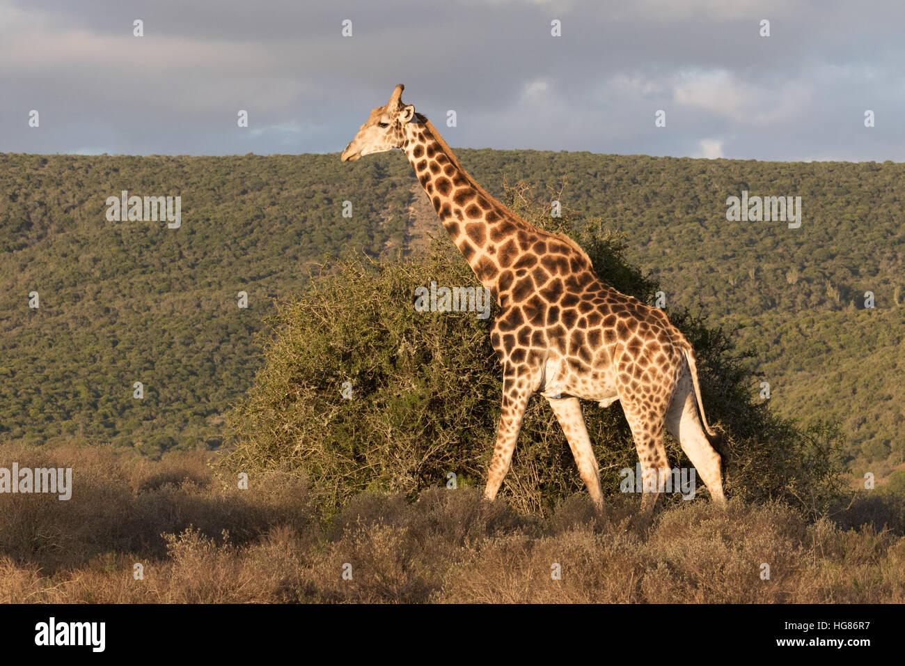 Wild adult Giraffe ( Southern Giraffe, Giraffa Giraffa), South Africa - Stock Image