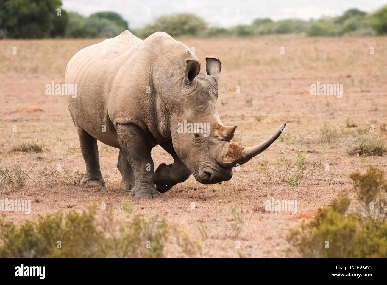 Wild adult male White Rhino ( Ceratotherium simum ), South Africa Stock Photo