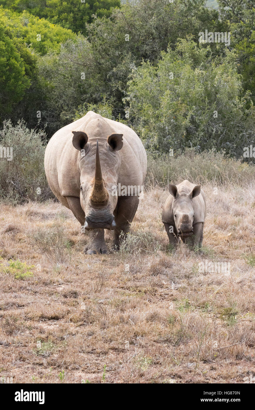 White Rhino - mother and 2 month old calf, front view, South Africa - Stock Image