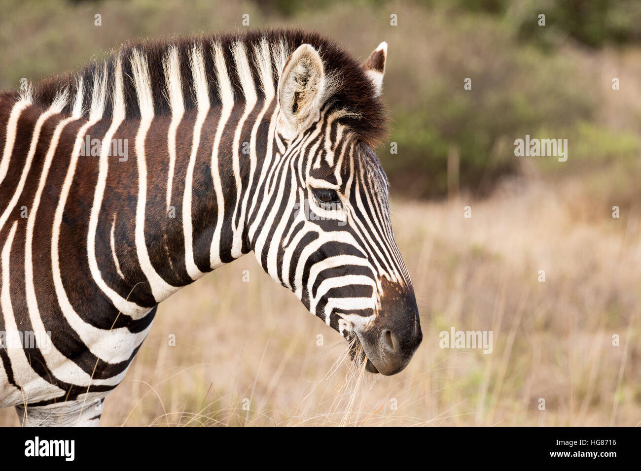 Head of a Plains Zebra ( Equus  quagga ), South Africa - Stock Image