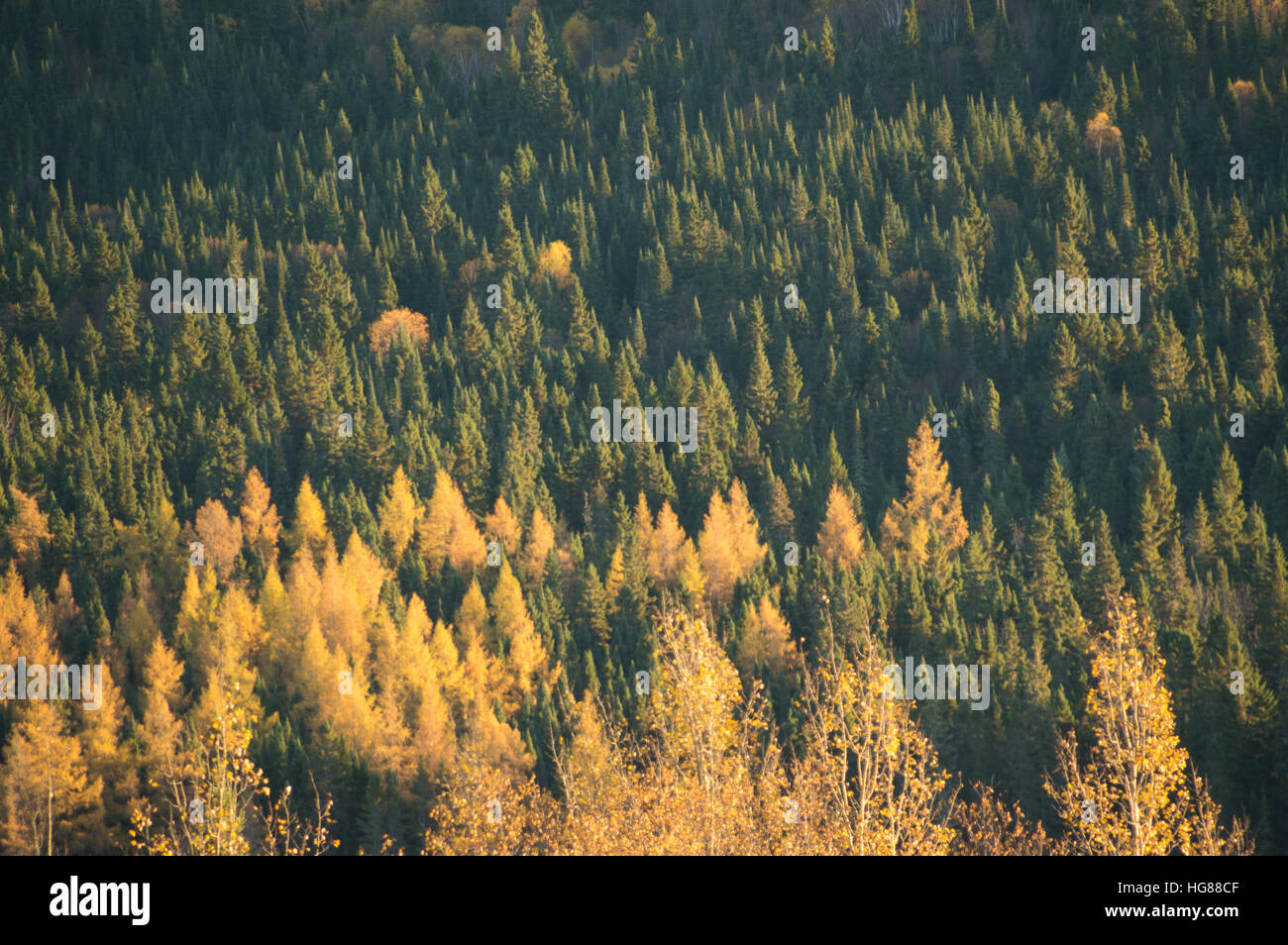 Background image of a valley of mostly green conifers, some yellow deciduous ones like tamarack, side lit by the - Stock Image