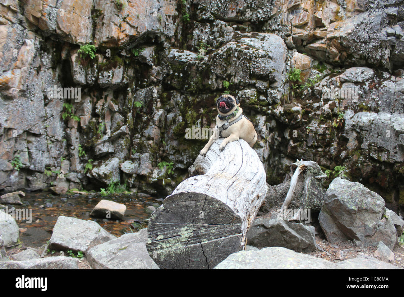 Pug sticking out tongue while sitting on wood against rock formation - Stock Image
