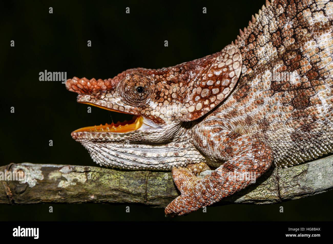 Male open-mouthed short-horned chameleon (Calumma brevicorne), Ampasimpotsy, Manakara, Madagascar - Stock Image