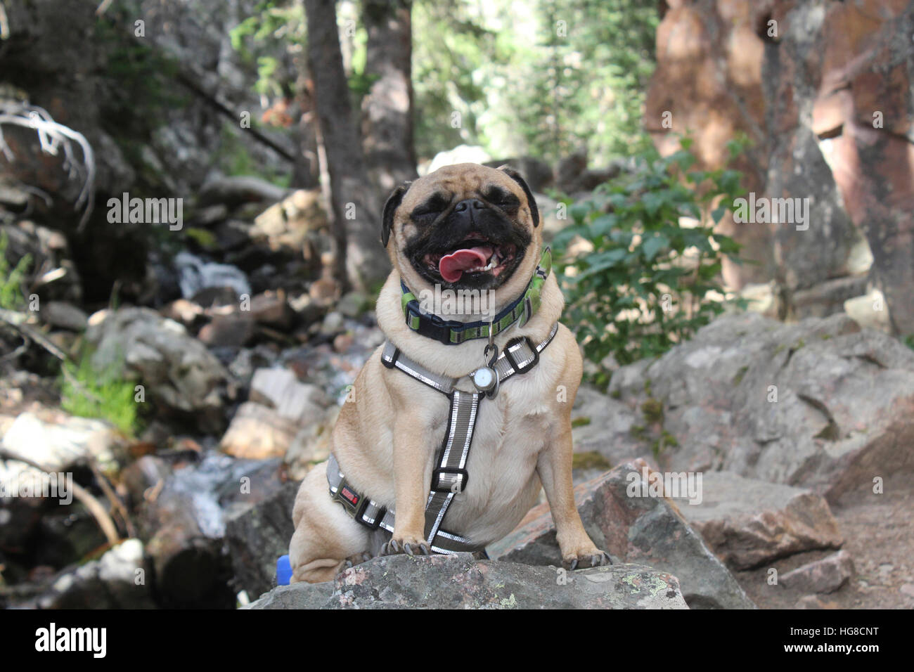 Pug sticking out tongue while sitting on rock in forest - Stock Image