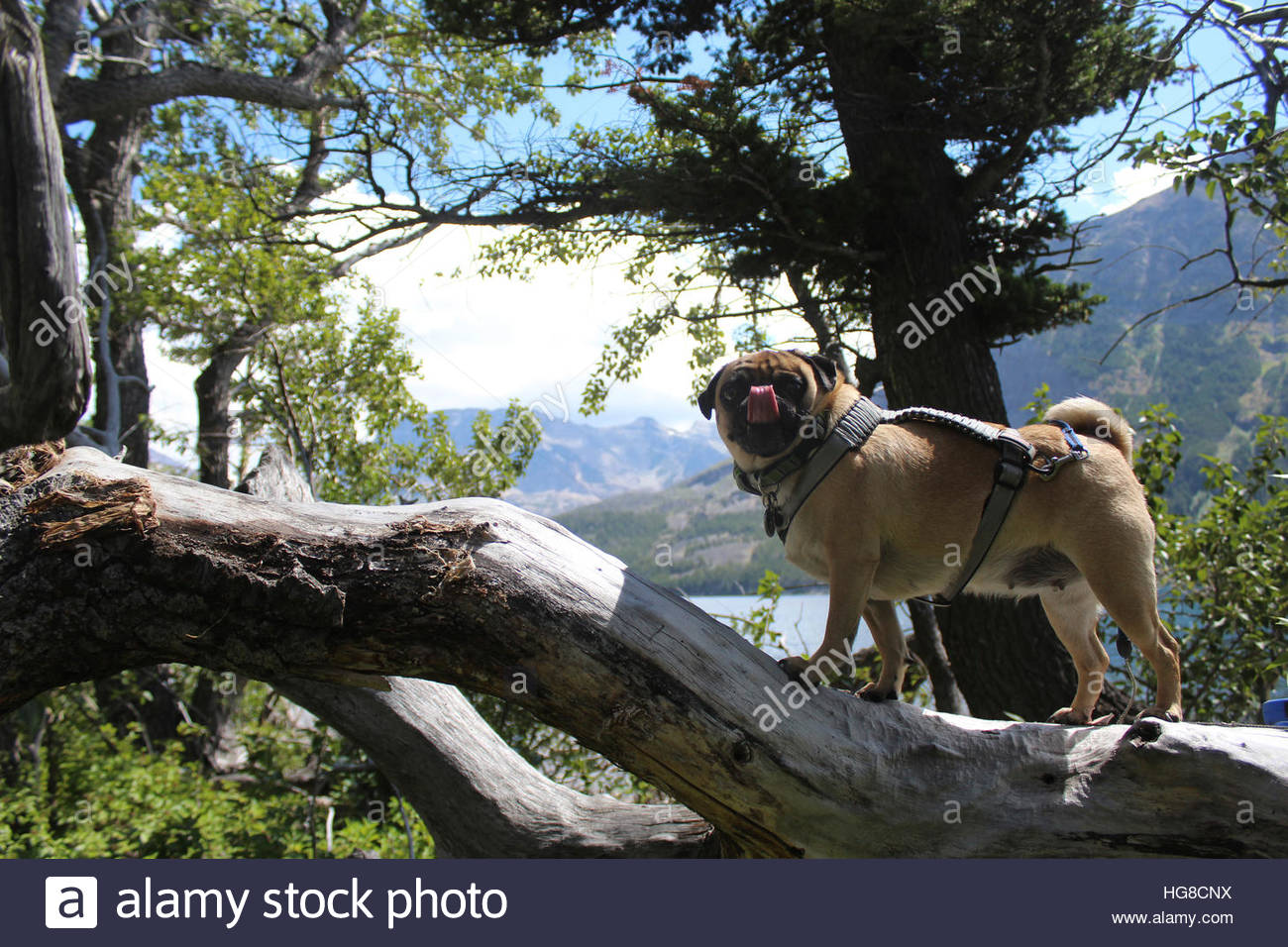 Side view of pug sticking out tongue while standing on tree trunk in forest - Stock Image