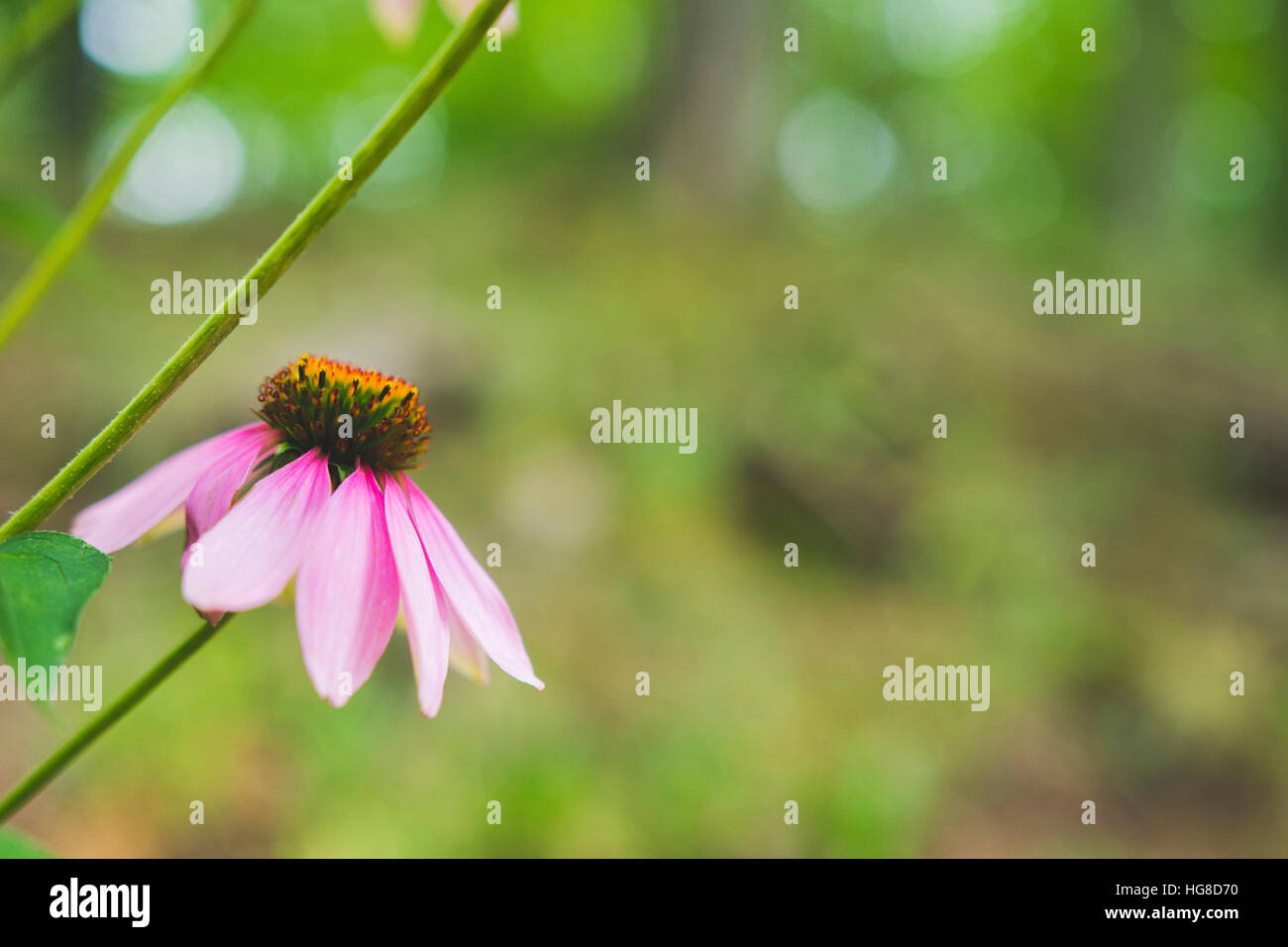 Close-up of eastern purple coneflower - Stock Image