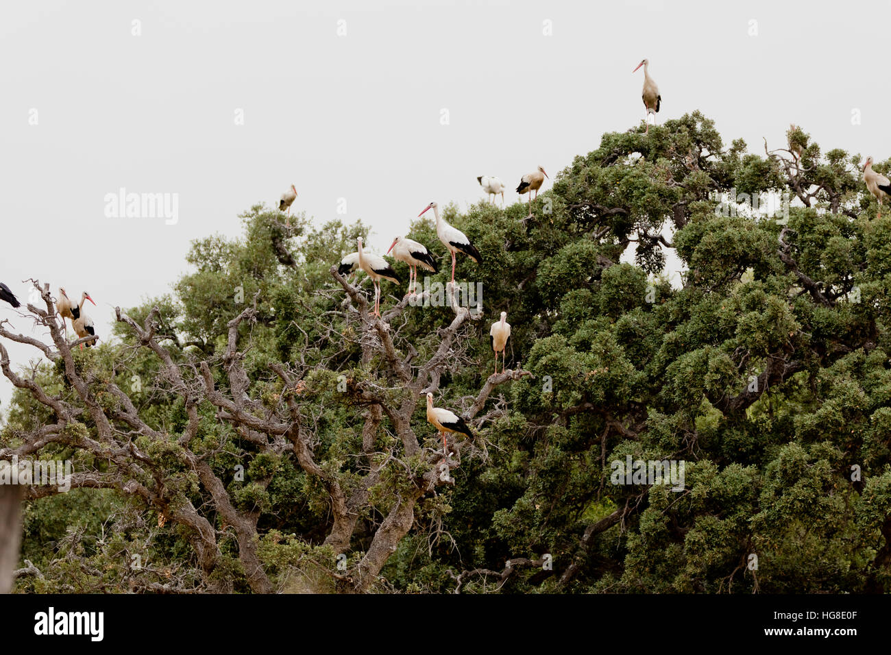 Low angle view of storks perching on tree against clear sky - Stock Image