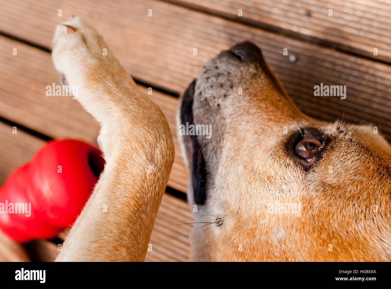 Cute dog playing - Stock Image