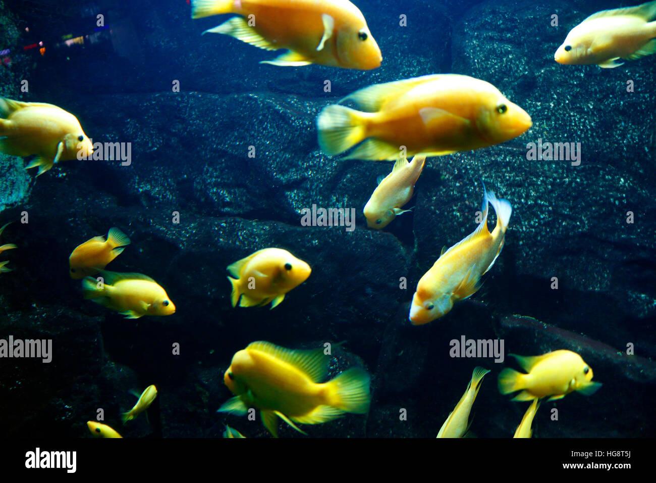 Fische in Aquarium. - Stock Image
