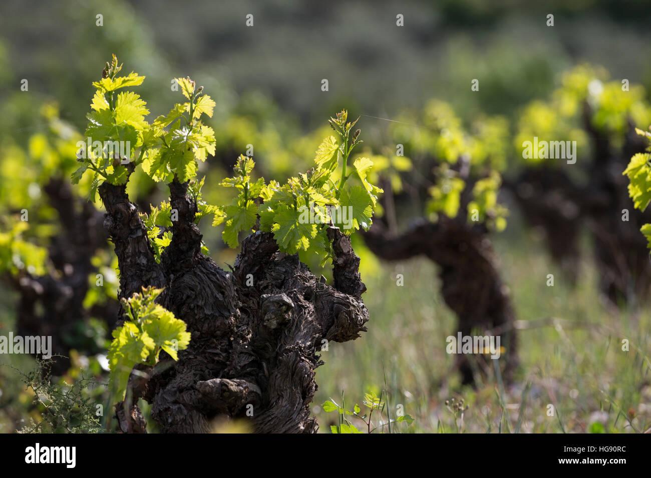 Weinrebe, Wein, Weintraube, Weintrauben, Wein-Rebe, Weinanbau, Anbau, Weinberg, Weinstock, Weinstöcke schlagen im Stock Photo