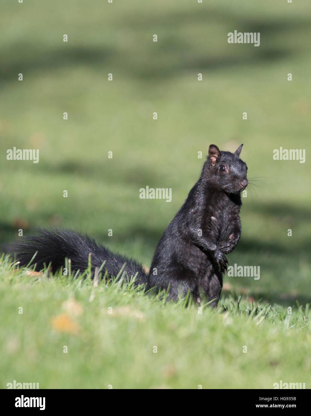 Eastern Grey Squirrel (Sciurus carolinensis) - Stock Image