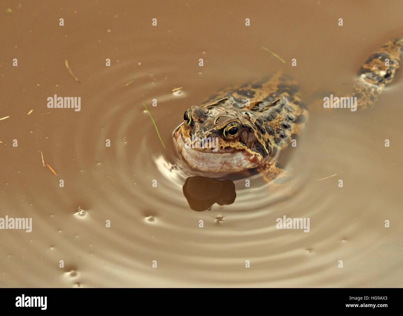 Common Frog (Rana temporaria) European common frog/ European common brown frog/ European grass frog croaking in - Stock Image