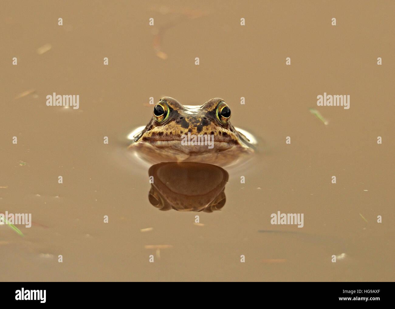 Common Frog (Rana temporaria) European common frog/ European common brown frog/ European grass frog & reflection - Stock Image