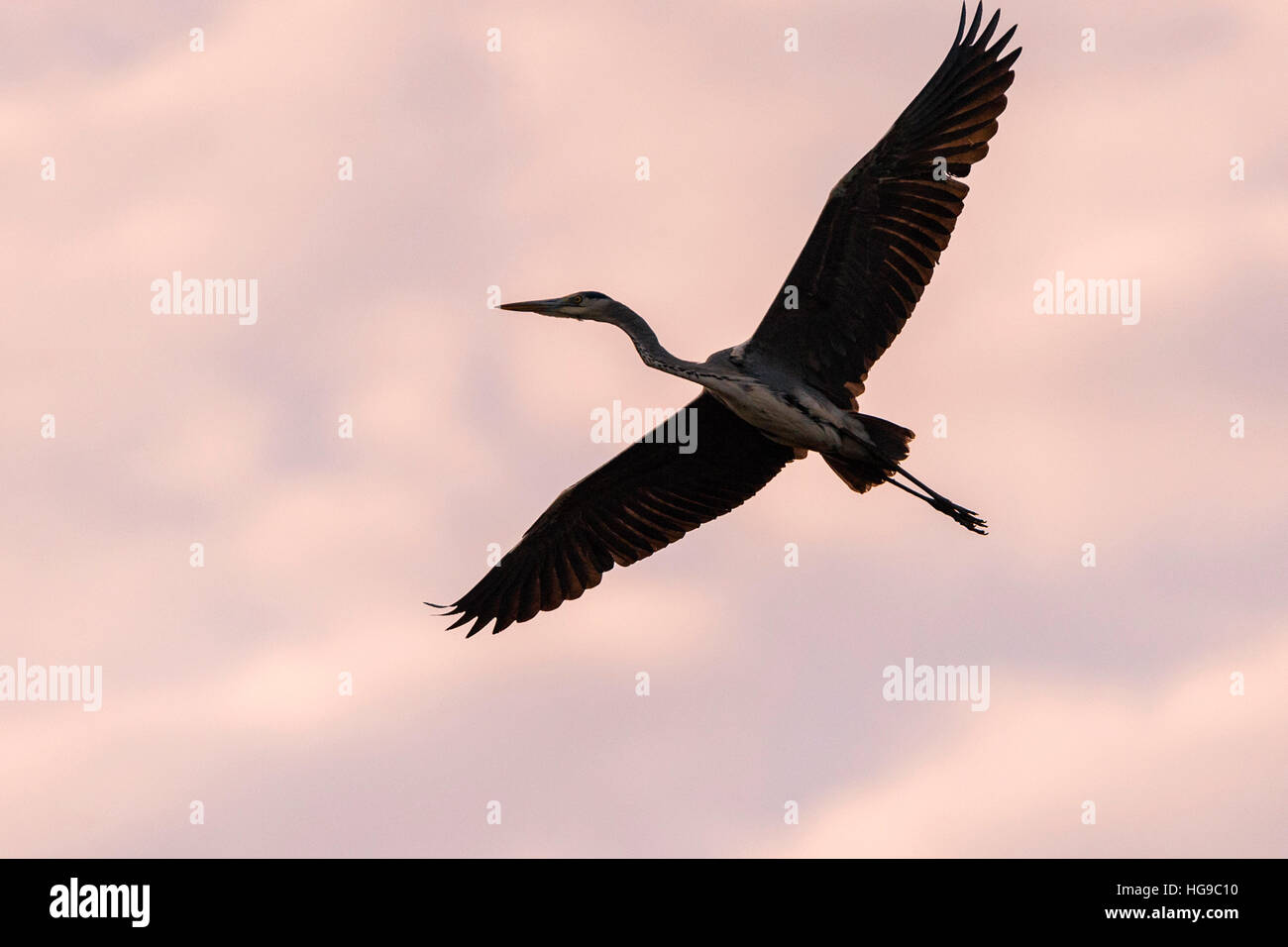 Grey heron in flight flying pink clouds sunset Stock Photo