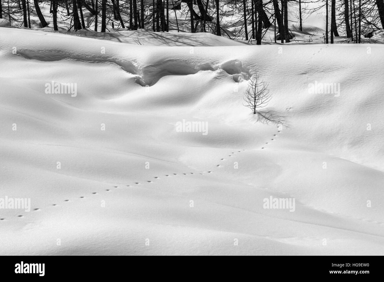 Mountain in winter. Tracks of wild animal on the snow in a mountain forest. Black and white photo. - Stock Image