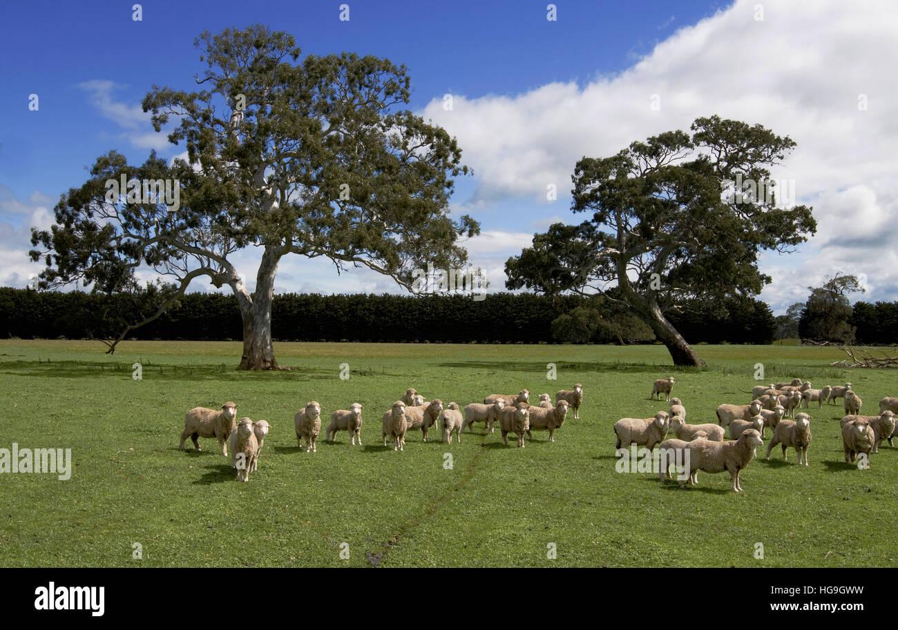 Merino sheep grazing near Hamilton, Victoria, Australia - Stock Image
