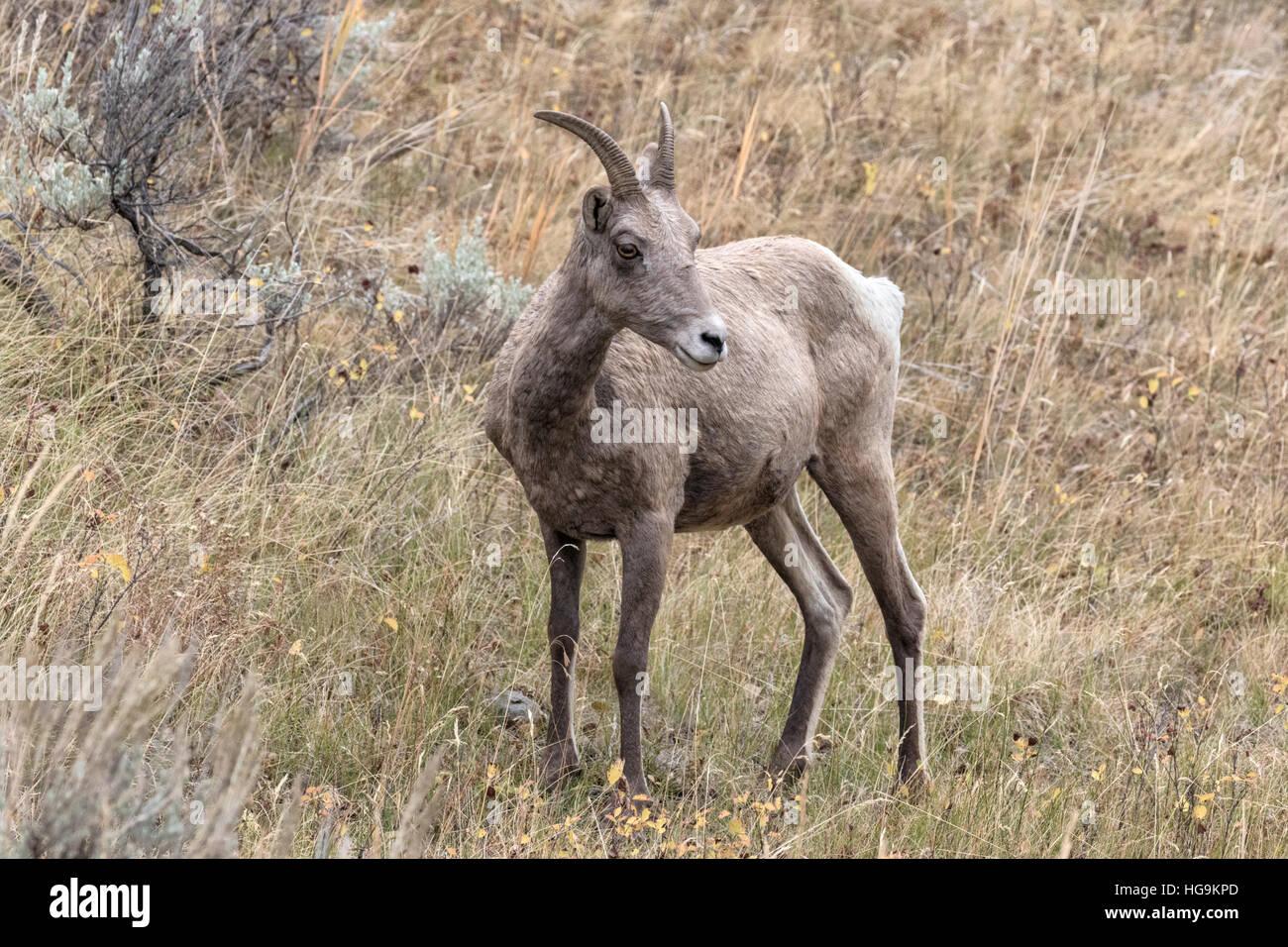 Bighorn Sheep - ewe - Stock Image