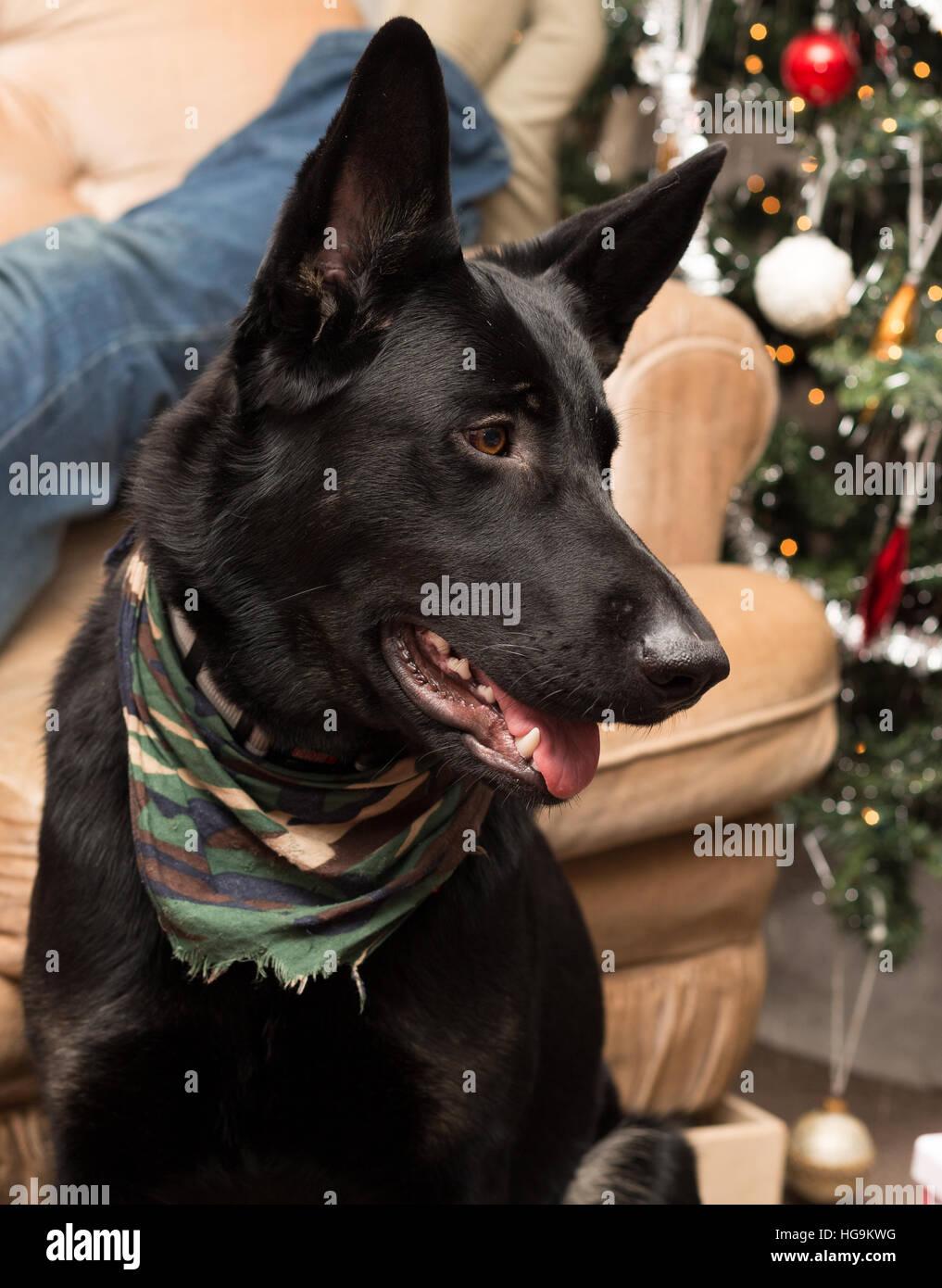 Puppy german shepherd dog. - Stock Image