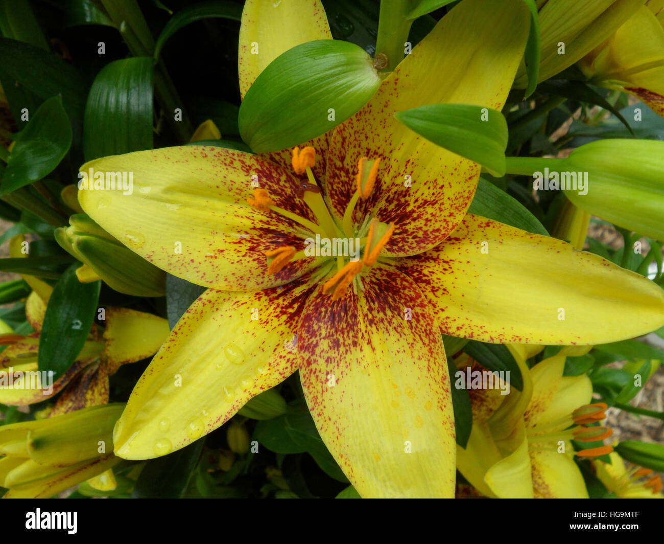 Close up of blooming yellow and brown two-tone Lily with orange velvet pollen - Stock Image
