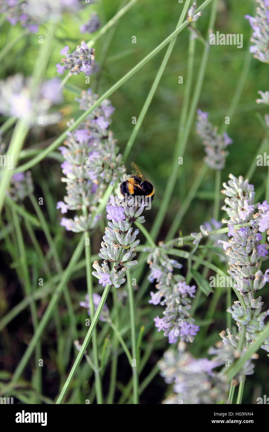 Bumblebee taking pollen from lavender plants Stock Photo