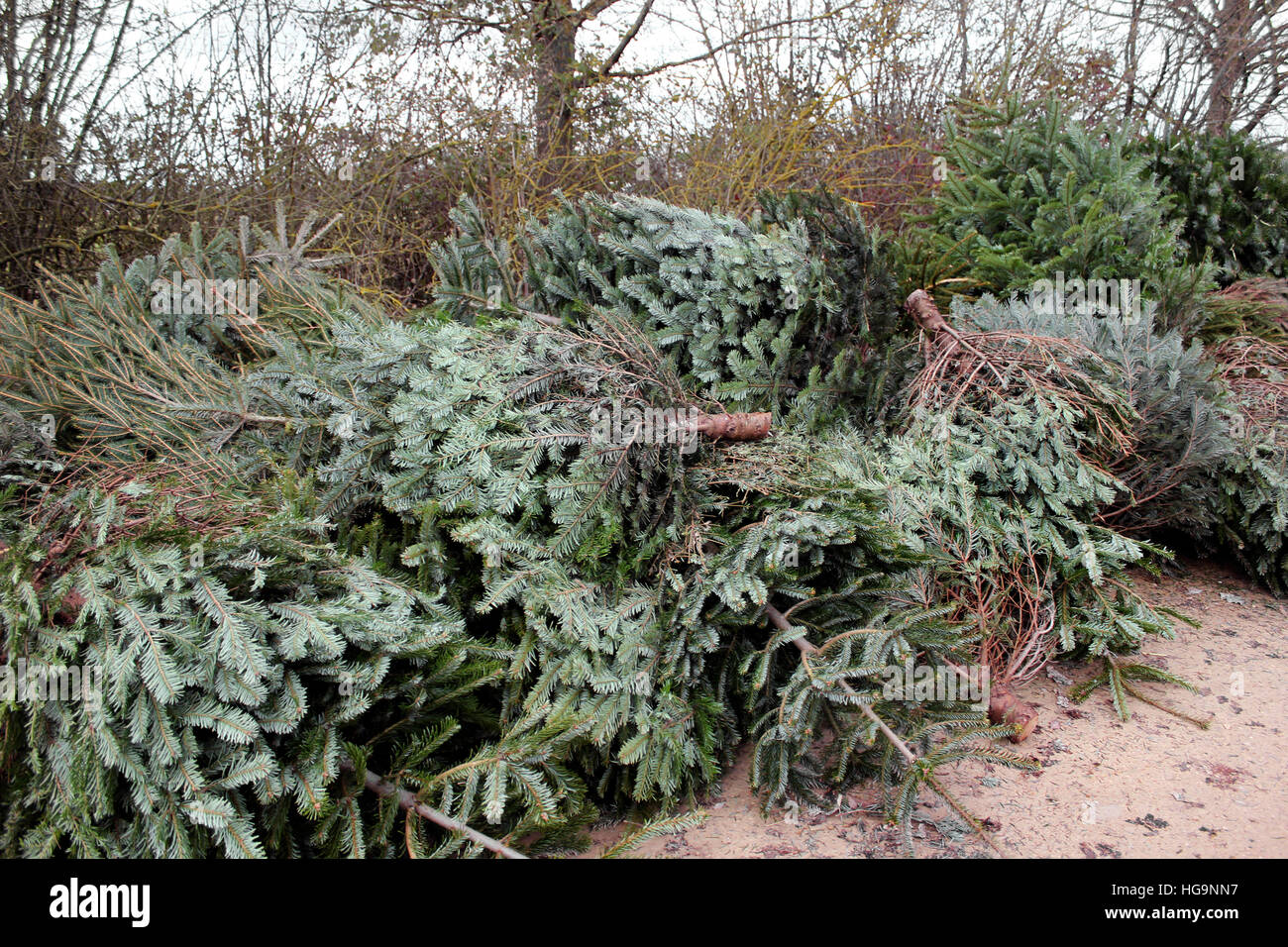 Christmas trees for recycling - Stock Image