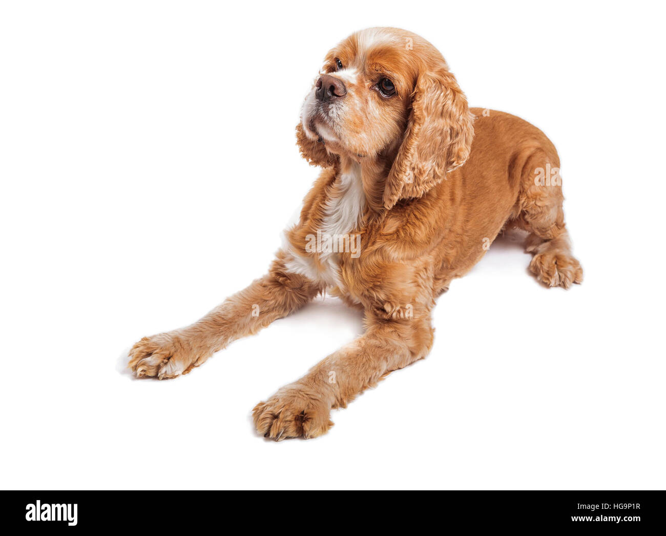 Cocker spaniel dog portrait on white. - Stock Image