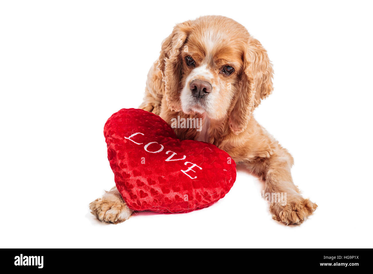 Cocker spaniel dog  with a love pillow, portrait on white. - Stock Image