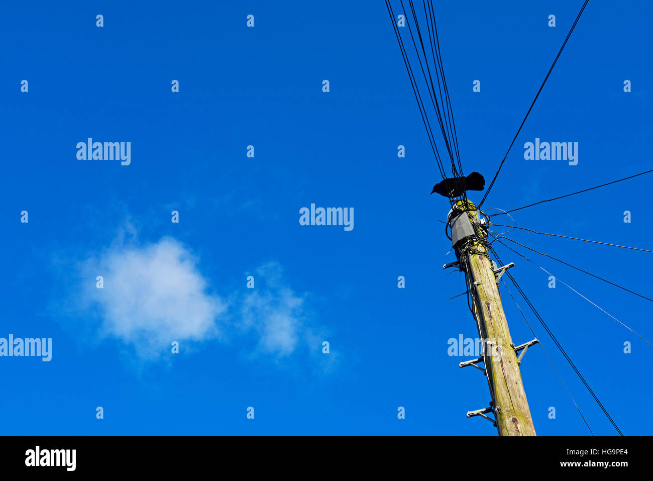 Jackdaw perched on top of telephone pole - Stock Image