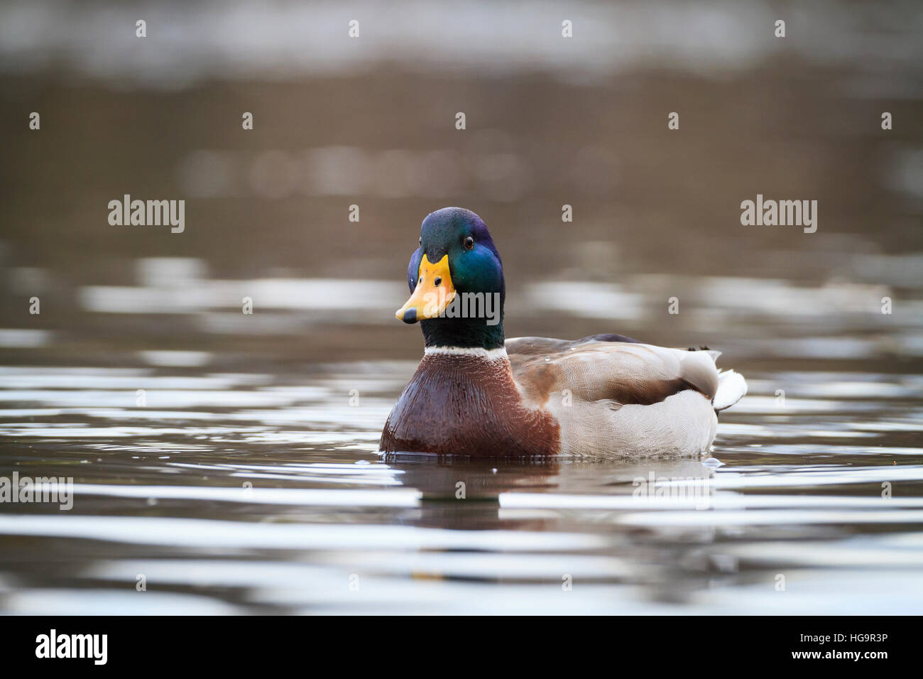 Mallard (Anas platyrhynchos) male on water. Lower Silesia. Poland. Stock Photo