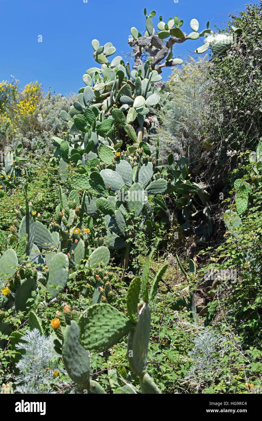 Prickly pear cactus on Lipari, Aeolian Islands Stock Photo