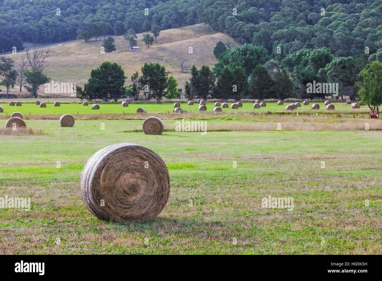 Round hay bales in a field after harvest on hot summer day - Stock Image