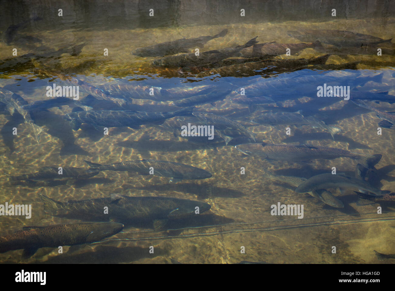 Chum Chinook Salmon In The Holding Pond At Big Qualicum River Fish Stock Photo Alamy