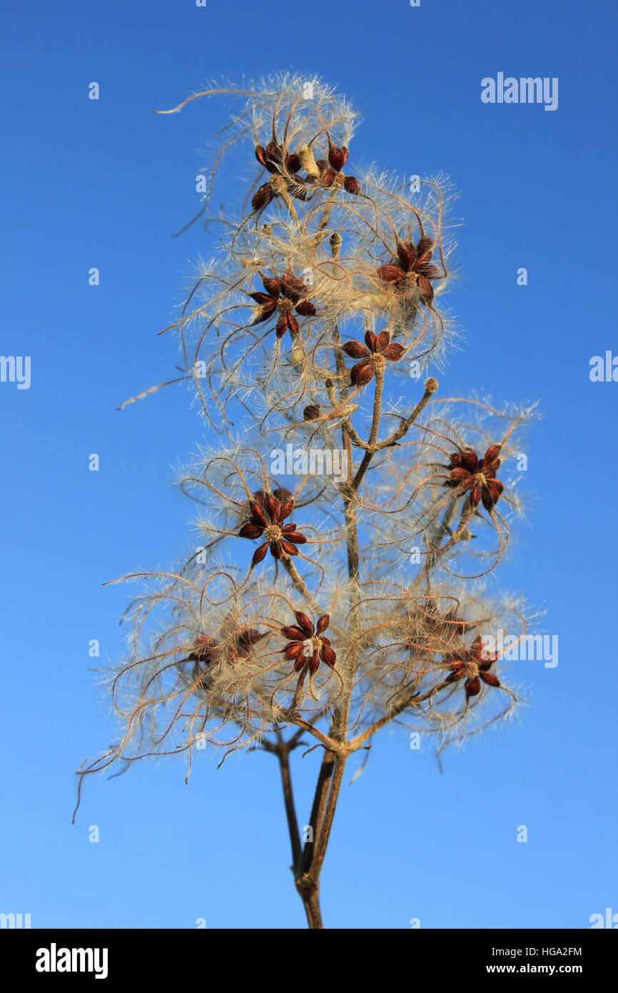 Seed Head of Old Man's Beard a.k.a. Traveller's Joy Clematis vitalba - Stock Image