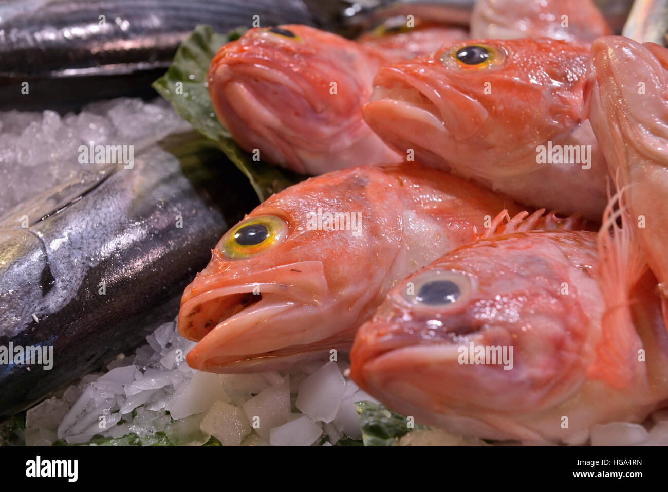 Red Scorpion Fish Stock Photos & Red Scorpion Fish Stock Images - Alamy