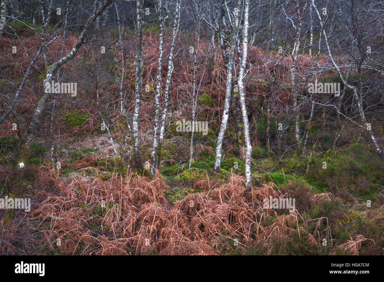 An winter landscape image of Silver birch Trees, Betula pendula, and dead bracken. Stock Photo