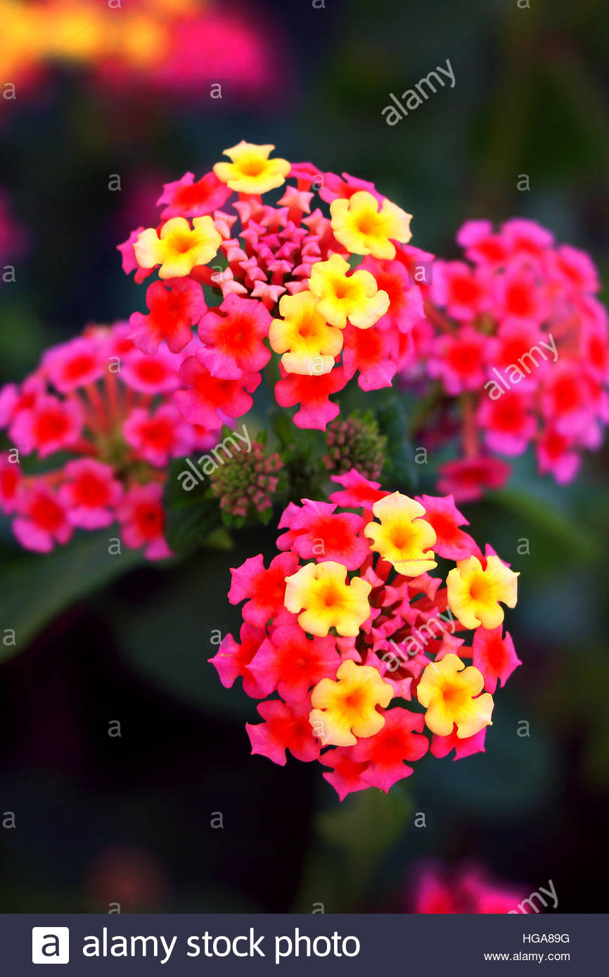 Lantana camara, also known as big sage, wild sage, red sage, white sage and tickberry. - Stock Image